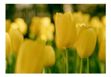 Żółte tulipany - plakat Wymiar do wyboru: 70x50 cm