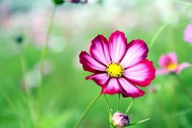 Fototapeta kwiatek Kosmos podwójnie pierzasty FP 291