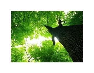 Gigatyczne drzewo - reprodukcja