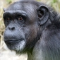 Fototapeta szympans fp 2645