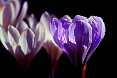 Fototapeta fioletowe krokusy na czarnym tle fp 413