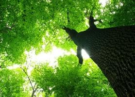 Gigatyczne drzewo - fototapeta