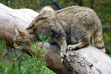 Fototapeta polujący dziki kot fp 2799
