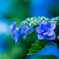 Fototapeta niebieska hortensja fp 499