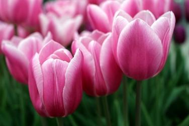 Fototapeta różowe tulipany fp 437