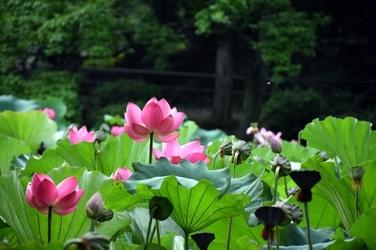 Fototapeta kwiaty lotosu w ogrodach królewskich fp 667