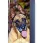 Foto naklejka na lodówkę pies malinois p52
