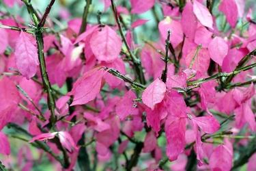 Fototapeta różowe liście fp 363