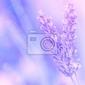 Fototapeta kwiat lawendy