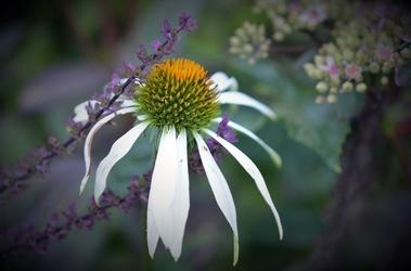 Fototapeta biały przekwitnięty kwiatek fp 531