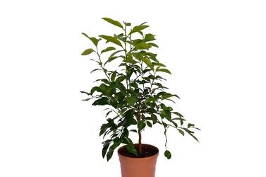 Limetta rangpur duże drzewko