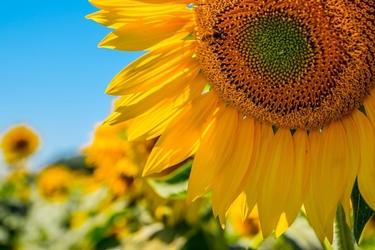 Francja, słoneczniki - plakat premium wymiar do wyboru: 84,1x59,4 cm