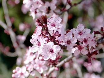 Fototapeta kwiat, wiśnia 283
