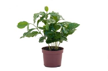 Kawa arabska duża sadzonka