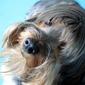 Fototapeta pies o czarującym spojrzeniu fp 2867