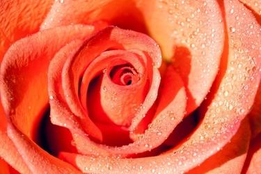 Fototapeta krople rosy na płatkach róży fp 529