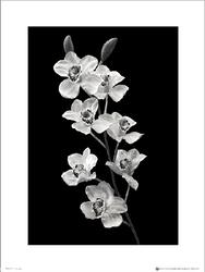 Orchidea Black And White Portrait - plakat premium