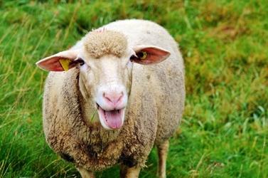 Fototapeta becząca owca fp 2478
