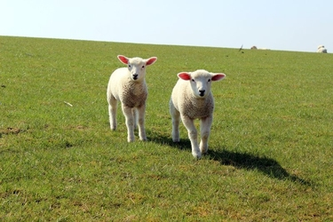 Fototapeta dwie małe białe owce fp 3048