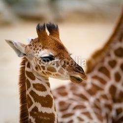 Fotoboard na płycie mała żyrafa