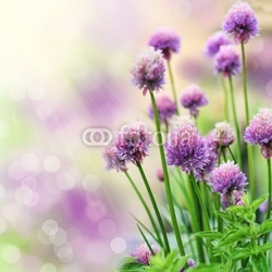 Tapeta ścienna szczypiorek kwiaty