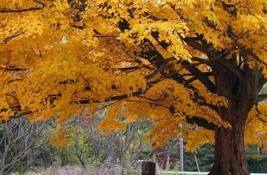 Drzewo, jesienne barwy - fototapeta