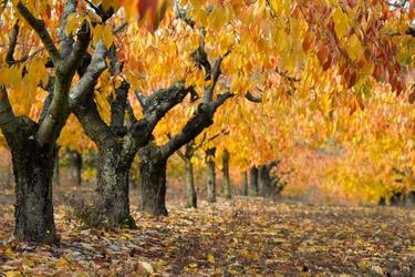 Fototapeta drzewa złote liście 724
