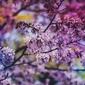 Kwiaty judaszowca - plakat wymiar do wyboru: 80x60 cm