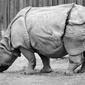 Fototapeta duży nosorożec fp 2696