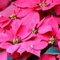Fototapeta gwiazda betlejemska kwiat fp 430