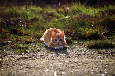 Fototapeta polujący kot fp 2928