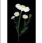 Rumianek nocą - plakat wymiar do wyboru: 59,4x84,1 cm
