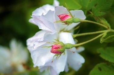 Fototapeta kwitnące róże ogrodowe fp 695
