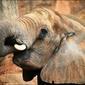 Słoń - plakat wymiar do wyboru: 42x29,7 cm