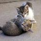 Fototapeta bawiące sie koty fp 2698