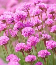 Zawciąg armeria różowiutkie kwiatuszki