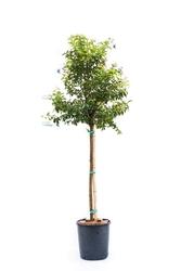 Lagerstroemia indyjska duże drzewo mix