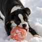 Fototapeta pies gryzący czerwoną piłke fp 2714