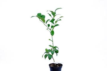 Cytryna meyeri krzew