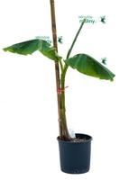 Bananowiec musa basjoo drzewo