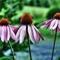 Fototapeta trzy kwiaty jeżówki fp 602