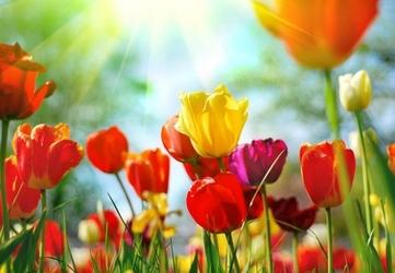 Wiosenne kwiaty - fototapeta 366x254 cm