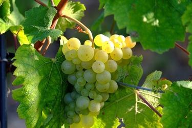 Fototapeta kiść winogrona oświecona słońcem fp 927