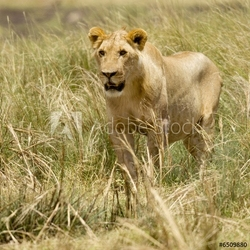 Obraz na płótnie canvas lion masai mara kenia