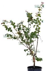 Lagerstroemia indyjska duży krzew mix