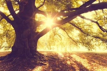 Złota jesień drzewo o poranku - plakat wymiar do wyboru: 91,5x61 cm