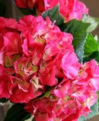 Hortensja leuchtfeuer mocno czerwone kwiaty