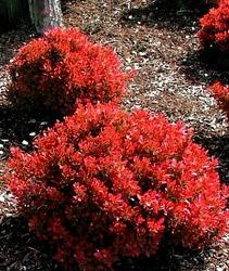 Berberys fireball  czerwony intensywnie