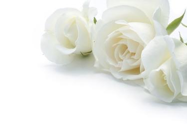 Fototapeta róże 2195