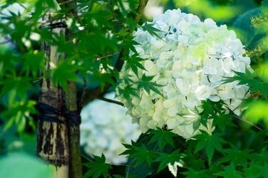 Fototapeta biała hortensja wśród innych roślin fp 409